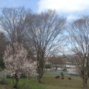 桜160308