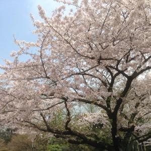 桜160406